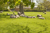 Contented Sheep in a spring pasture — Stock Photo