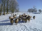 Moutons dans le paysage d'hiver. — Photo