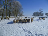 Winter landscape with sheep. — Stock Photo