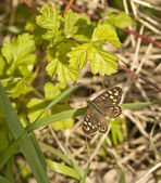 Speckled Wood Butterfly in dappled shade at base of hedgerow. — Stock Photo