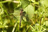 Brown Hawker Dragonfly on woodland vegetation — Stock Photo