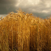 Barley crop in Lincolnshire,England. — Stock Photo