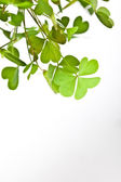 Clover Clusters — Stock Photo