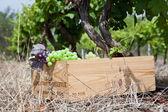 üzüm toplama — Stok fotoğraf