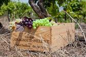 Grape Picking — Stock Photo