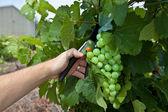 виноградный выбор — Стоковое фото