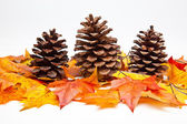 Cones do pinho — Foto Stock
