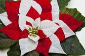 Julstjärna lämnar — Stockfoto