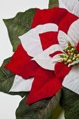 Poinsettia Leaves — Stock Photo