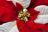 Poinsettia Leaves — Stock Photo