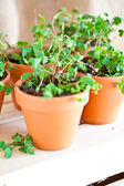 Potted Clover Plants — Stock Photo