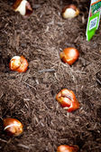 Tulip Bulbs — Stock Photo