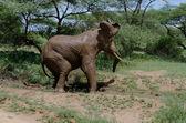 Elefant-Schlammbad — Stockfoto