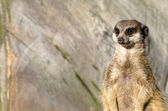 Single funny looking meerkat (aka suricate)  — 图库照片