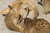 Meerkat (suricate) playing with other members of family — Stock Photo