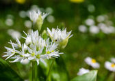 Closeup of blooming wild garlic flowers — Stock Photo
