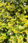 Euonymus fortunei - arka plan, doku closeup — Stok fotoğraf