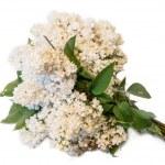 White common lilac (syringa) bouquet isolated on white backgroun — Stock Photo #46482637