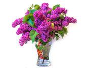 Purple common lilac (syringa) in vase isolated on white backgrou — Stock Photo