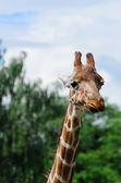 Close-up of funny looking giraffe — Photo