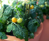 Cherry tomatoes growing — Stock Photo