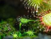 Sundew - Tentacles of little Drosera aliciae — Stock Photo