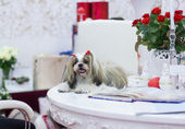 Well groomed puppy (Shih-tzu) at the white table — Stock Photo