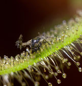 Remains of the fly drained by Sundew Alba — Stock Photo