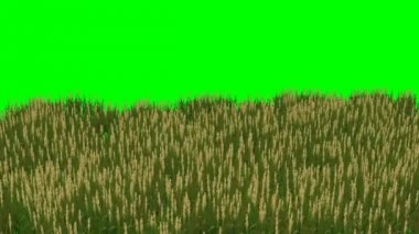 Rice field - plant moved by the wind - green screen — Stock Video