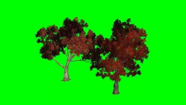 Arce rojo se mueve en el viento - pantalla verde — Vídeo de stock
