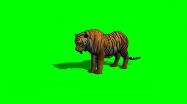 Tiger eat on green screen — Vídeo Stock
