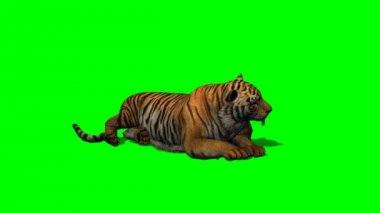 Tiger idle on green screen — Stock Video