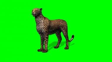 Cheetah looking around — Stock Video