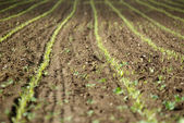 Field with young plants seed — Stock Photo