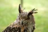 Owl close up — Stockfoto