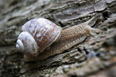 Vineyard snail — Stock Photo