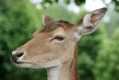 Deer close up — Stock Photo