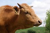 Bruin koeien op de weide close-up — Stockfoto