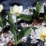 Tulip Flowe Bed. 3 White & 2 Buds preparing to Bloom — Stock Photo #41213579