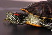 Walking Water Turtle — Stock Photo