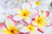 Many flowering frangipani — Stock Photo