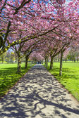 Spring path in the park with cherry blossom and pink flowers. — Stock fotografie