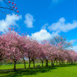 Spring path in park with cherry blossom and pink flowers. — Stock Photo #42008123