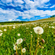 Постер, плакат: Blow balls dandelions in meadow with blue sky and white clouds