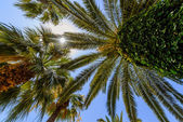Exotic palms with big green leaves, photo taken from bottom. — Stock Photo