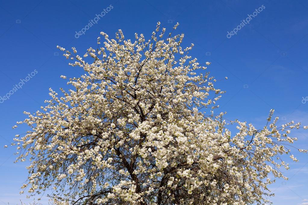Albero da frutto grande fioritura fiori bianchi foto for Albero con fiori blu