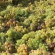 Harvesting grapes — Stock Video