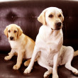 Handsome Labradors — Stock Photo