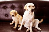 Handsome Labradors — Stock Photo