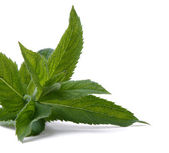 Mint, isolated — Stock Photo